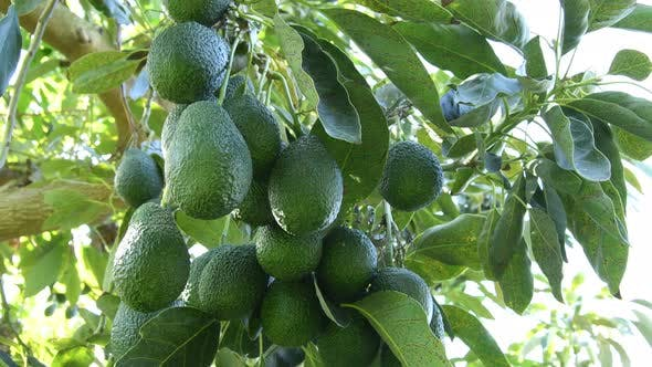 Bunch of Natural Hass Avocados in Tree by IANM35 | VideoHive