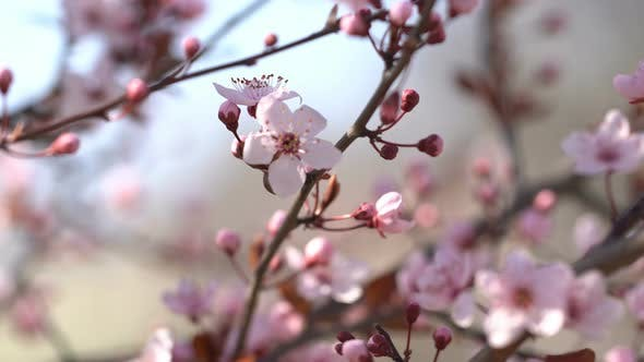Sakura  Branches of Cherry Blossoms by Aleks_Sg | VideoHive