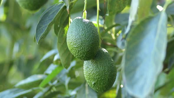 Hass Avocados in a Avocado Tree by IANM35 | VideoHive