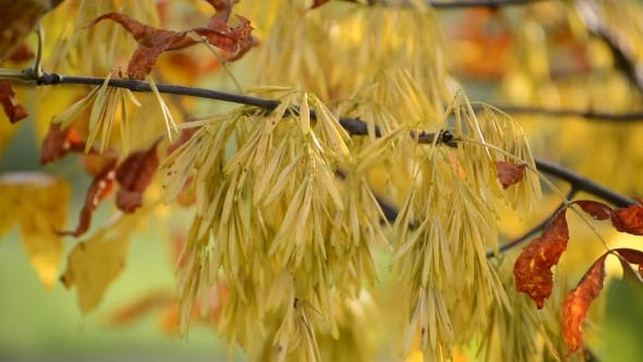 Acer Negundo Autumn With Yellow Leaves By Olgavolodina Videohive