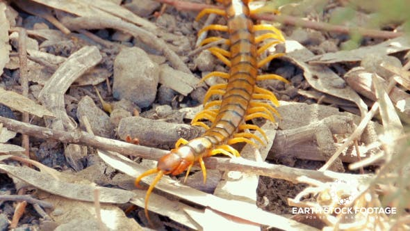 Giant Centipede by EarthStockFootage | VideoHive