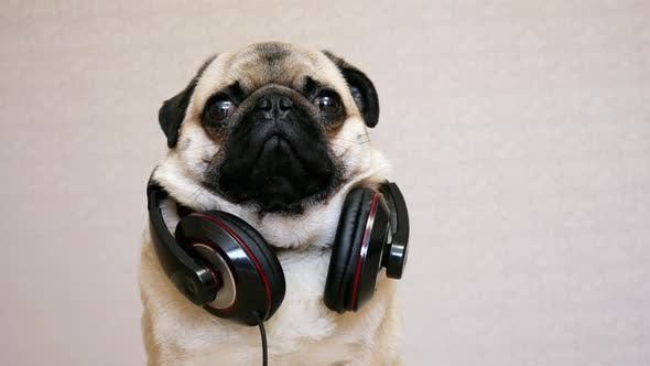 Portrait Of Funny Pug Dog In Big Headphones Listening To