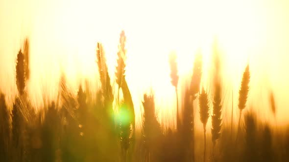 Ears Of Wheat Close Up On A Background Of The Sun By Julia Diak