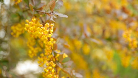 Blooming Berberis Ottawensis Deciduous And Evergreen Shrub