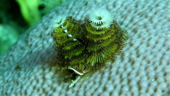 A Christmas Tree Worms on the Coral Are