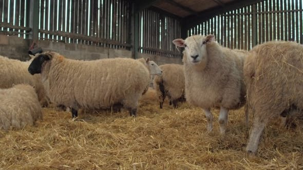 Heavily Pregnant Ewe Sheep Rest by noofoo | VideoHive