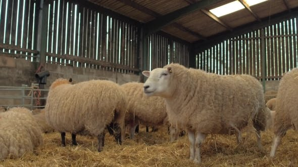 Heavily Pregnant Ewe Sheep Rest in a Barn by noofoo | VideoHive
