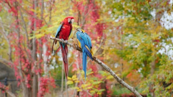 Exotic Birds  Two Bright Parrots Sit on a Branch  Scarlet