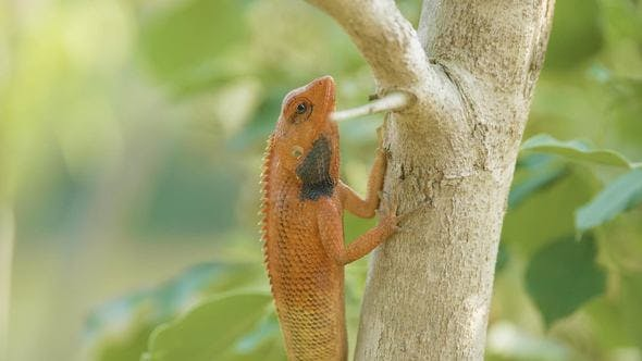 Orange Lizard on the Tree Finds Insects To Eat, National Park