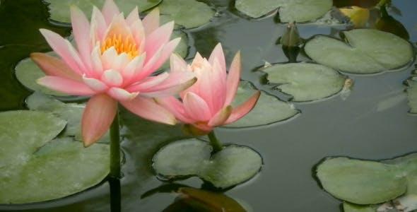 Lotus Flower In The Lake By Jordanbarr Videohive