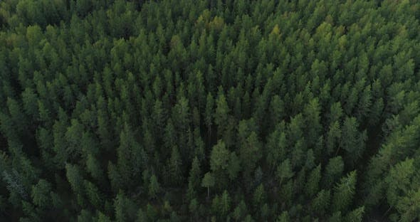 Flying Over Wild Green Forest Aerial View Drone Shot By Stockfactorypro