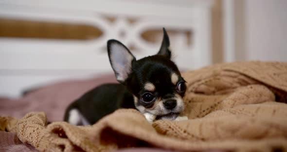 Resultado de imagen para bed chihuahua