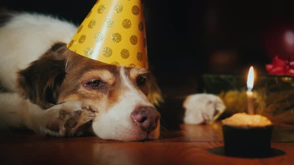 Portrait Of A Birthday Dog Looking At His Cake Stock Footage