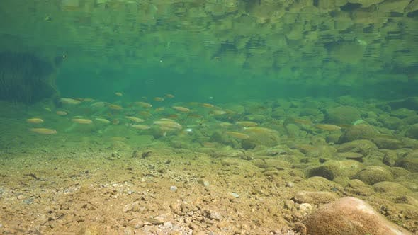 Underwater A Shoal Of Chub Freshwater Fish In A Rocky River By Seaddict