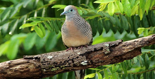 Zebra Dove (Geopelia Striata) With Sound by azamshah72v | VideoHive