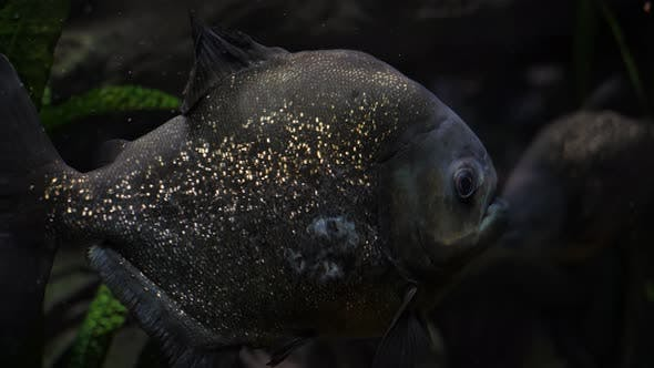 Piranha Fish in a River or Aquarium by sonicbox85 | VideoHive