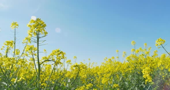 Surrounded By Canoloa Feilds Quotes: Blooming Canola Field. Flowering Rapeseed By ArtLights
