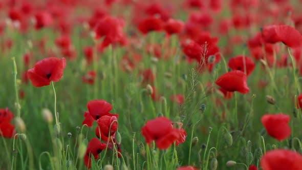 Red Poppies Field  Poppy Flowers Field  Poppy Flowers