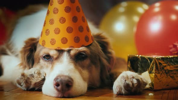 Portrait Of A Birthday Dog In Festive Cap Stock Footage
