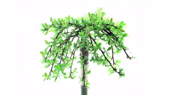 Time Lapse Of Growing Bonsai Arbuscula Tree By Zygista Videohive