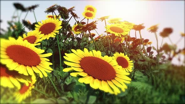 Sunflower Garden Moving Background by Pixy2012 | VideoHive
