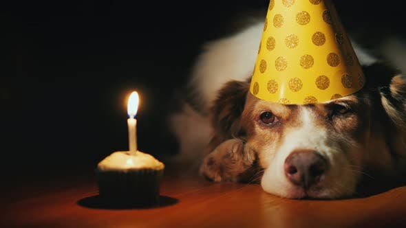 Funny Portrait Of A Birthday Dog Looking At His Cake Stock Footage